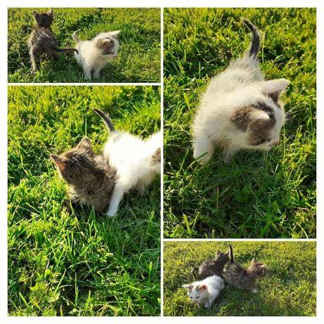 Kot, kotek, prześliczne kotki Busko, Kielce