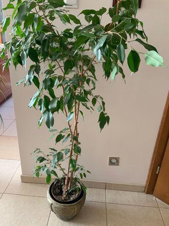 Ficus  Benjamina,roslina doniczkowa
