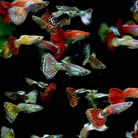 Gupik gupiki mix kolorów rybki akwariowe Lipno akwarium