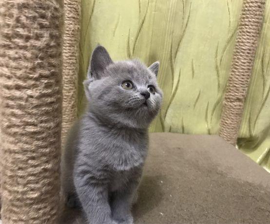 Очаровательный котенок - голубой мальчишечка