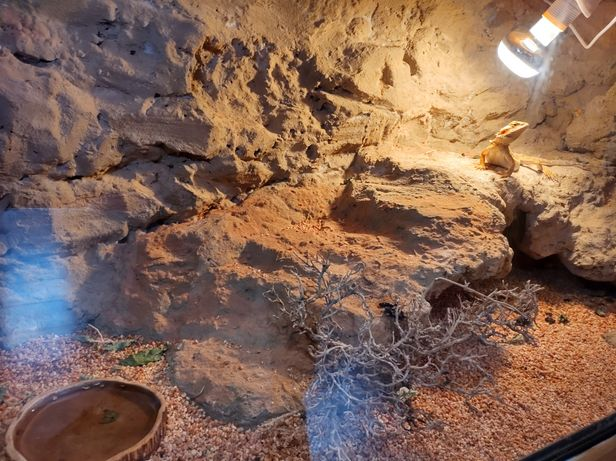 Agama brodata wraz z dużym terrarium i akcesoriami
