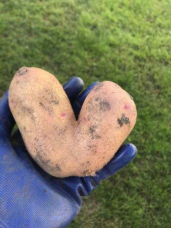 Картошка у вигляді серця