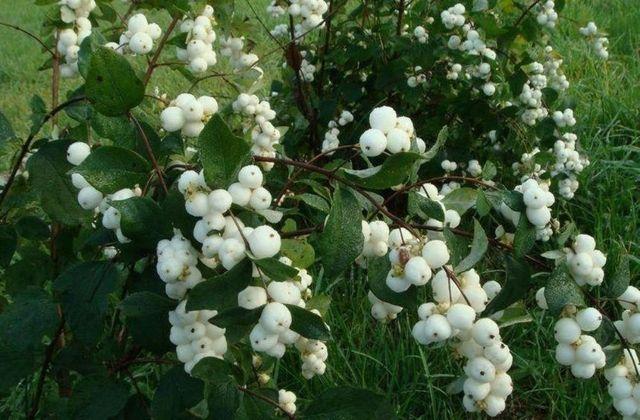 Cнежноягодник белый (белоягодник) саженцы купить украина