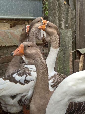 Продам гусей и домашних уток