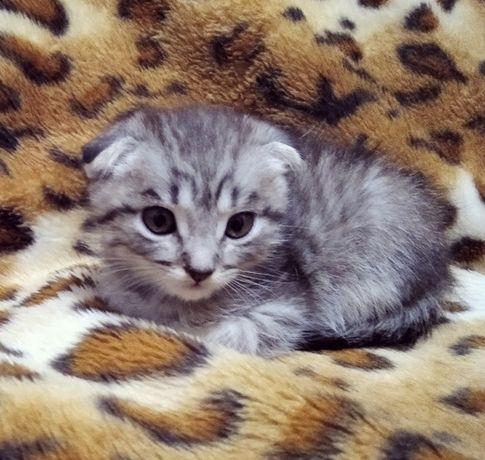 Котёнок, скоттиш фолд