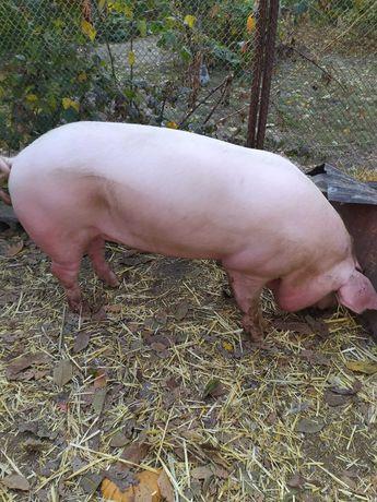 Продам на потомство чистопородного мясного  хряка