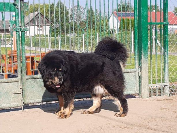 Mastif Tybetański Suczki 3l fci po Chempionach