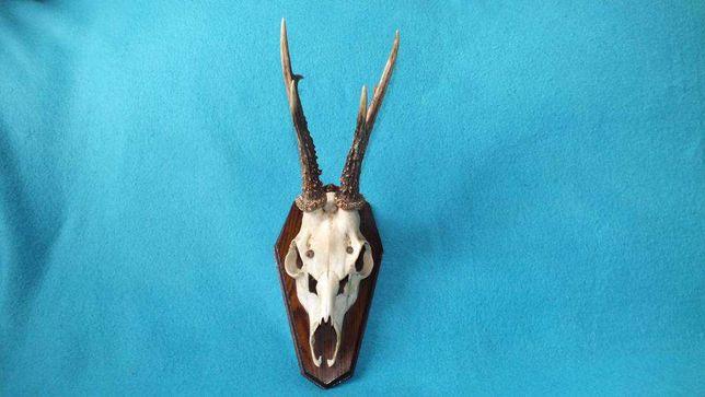 Trofeum poroże jelenia z czaszką nr7 Rogi dł. 19cm