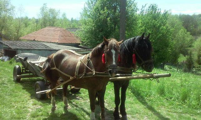 Продається пара коней