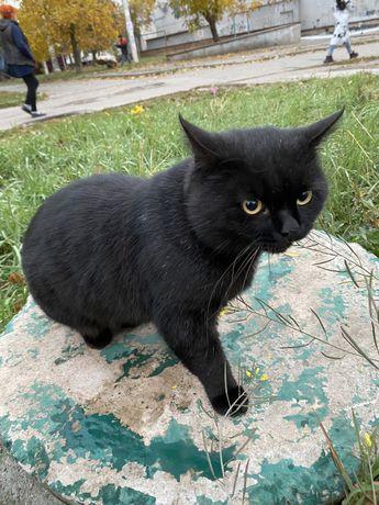 Найден замечен кот. Скотиш страйт- Британец
