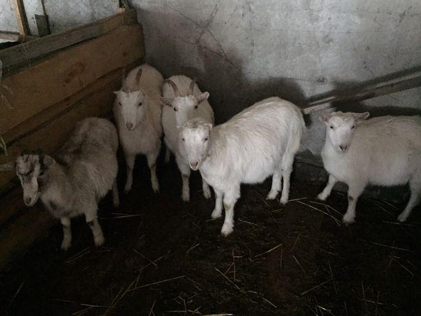 Козлята під бронь ламанча - зааненська коза козенята