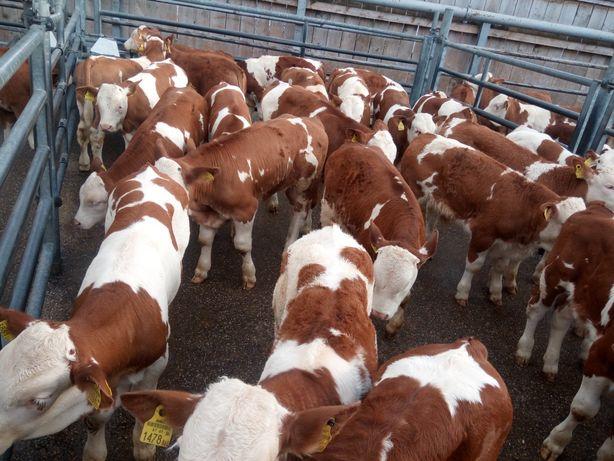 Cielęta byczki mięsne ,simental