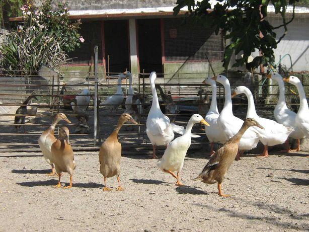 Vendo patos corredores indianos e gansos da Guiné