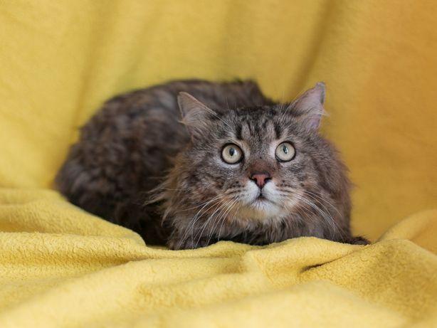Симпатичный пушистый кот в поисках дома, кастрирован, 3 года