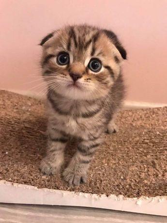 Тикированный, табби , скоттишь фолд, страйт , Scottish Fold cat