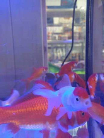 Peixes de agua fria ( shubukin / cometas / peixinho dourado )
