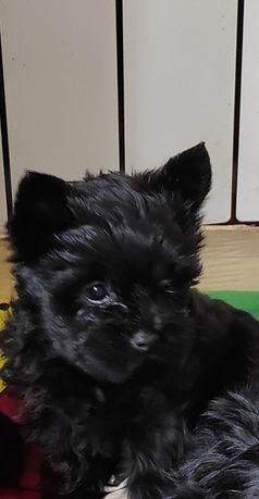 Czarna Yorkshire terrier 10 tygodni