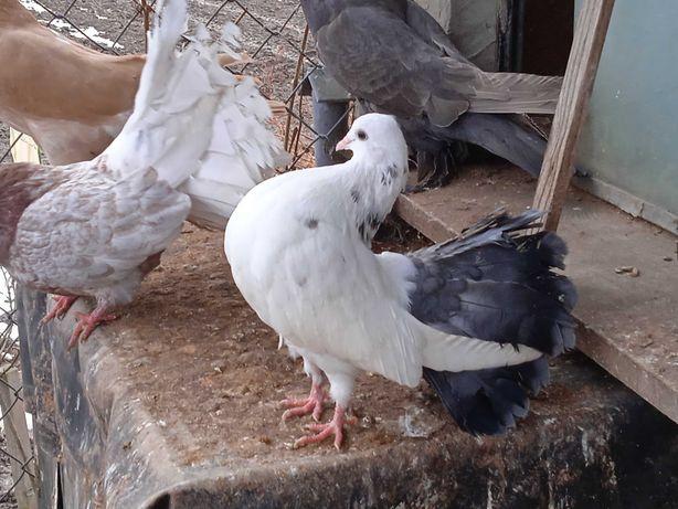 Pawik pawiki samica