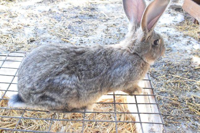 Sprzedam króliki belgijskie