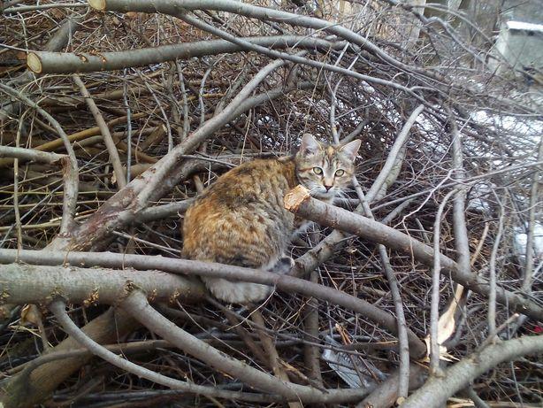 Отдам кошку лесного окраса, 10 месяцев