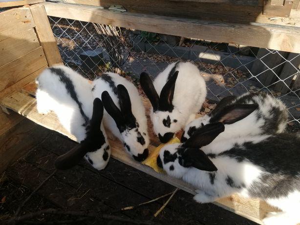 Бердянск Прекрасные кролики, ручные, потешные, крепкие, крупные