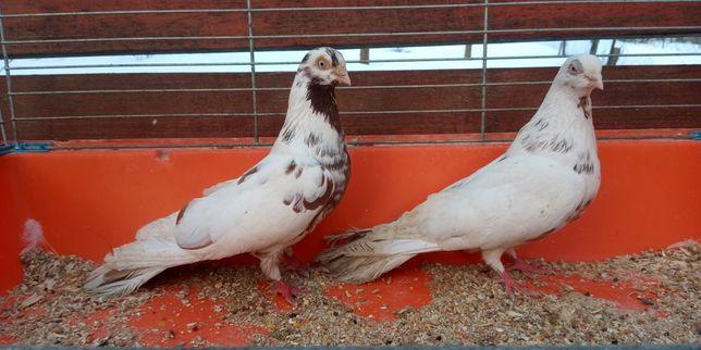 Gołębie zamojskie para