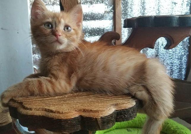 Рыженькое солнышко котенок 3мес