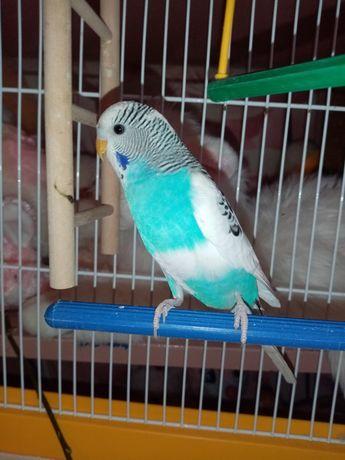 Попугайчик, мальчик, 3 месяца