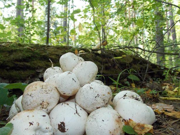 гриб веселка зібраний в карпатах
