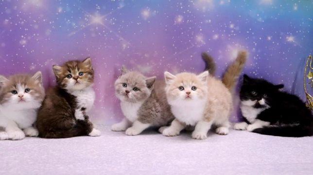 Питомник кошек предлагает для приобретения чистокровных шотландцев
