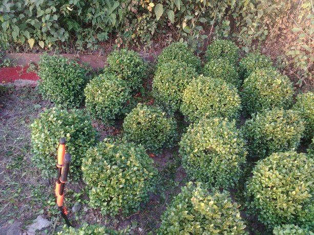 Декоративні рослини. Туї, самшит, листяні.