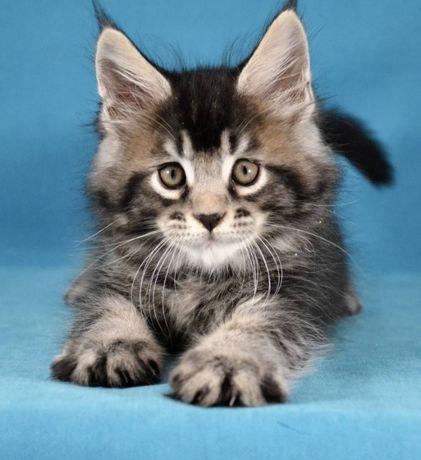 Клубные котята породы Мейн кун Дэбби и Драйв