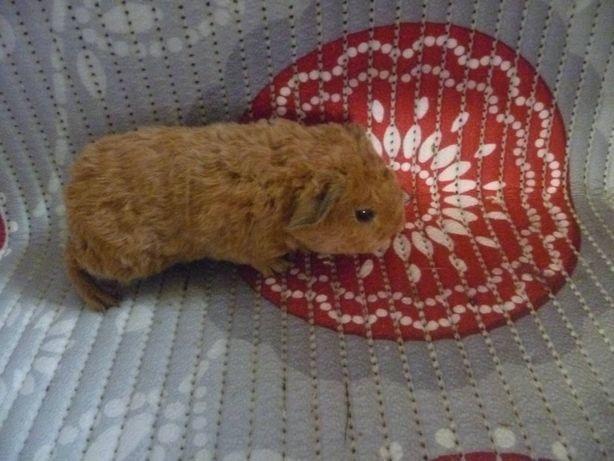 Мальчик морской свинки Тедди