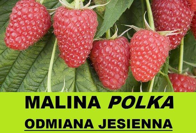 Sadzonki maliny jesiennej Polka