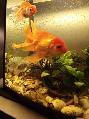 Продам золотих рибок 100 грн.