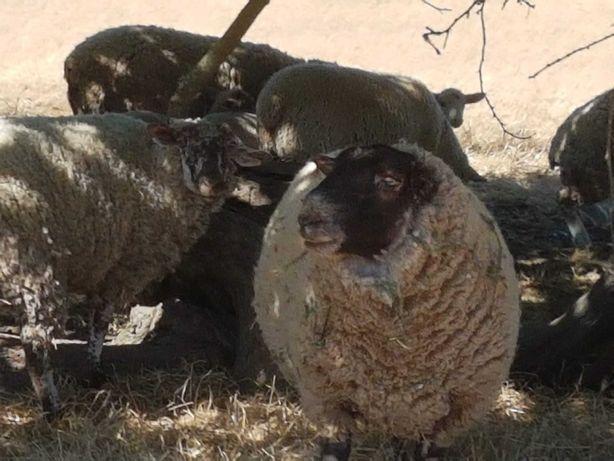Vendo carneiro cruzado sullfk