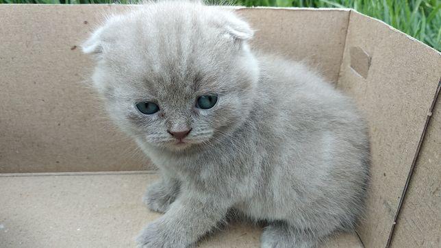 Скотиш Фолд. Вислоухий Кот.Кошка. Кошеня. Кіт. Кішка