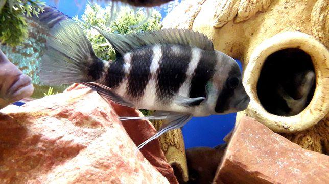 Рыбка Фронтоза ( Цыфотиляпия лобастая) мальки - длина от  2,5см-4см.