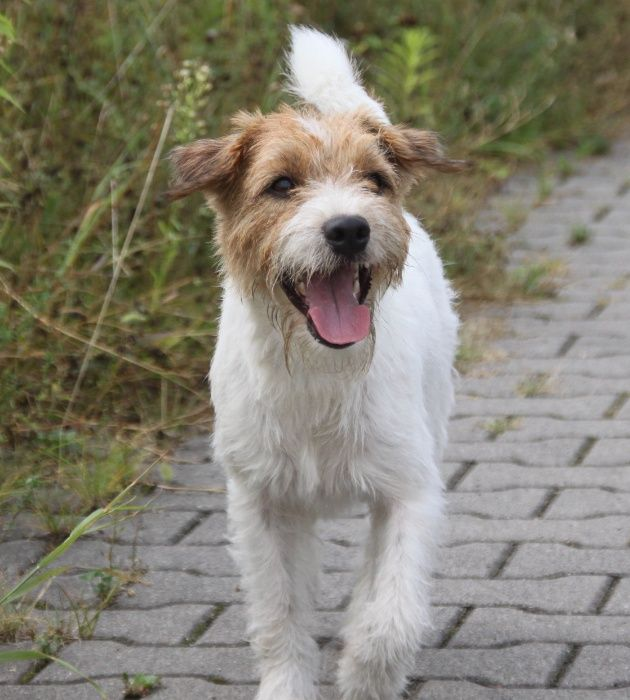 Parson Russell Terrier - Reproduktor Warszawa - image 1