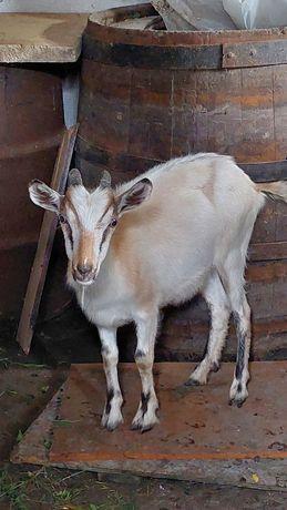 Продам козу, молодую