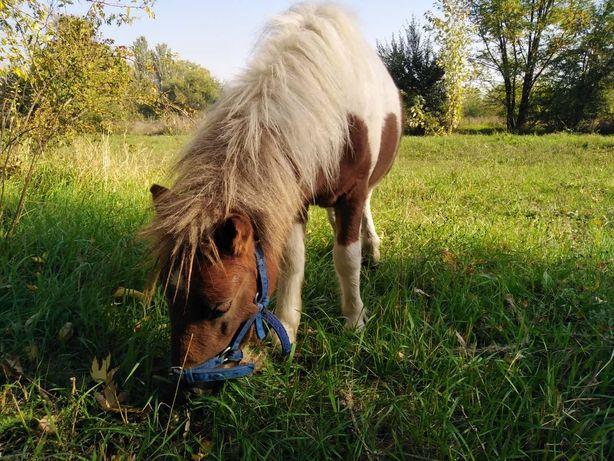 Пони шетлендский, жеребчик пони. Лошадь (сообщения на вайбер)