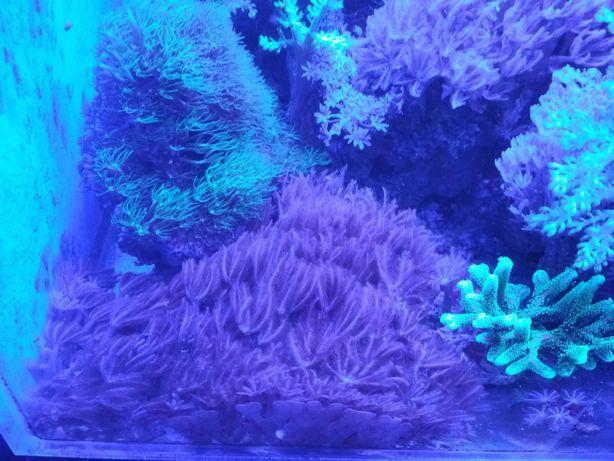 Koralowce miękkie Anthelia , capnella , rhodactis . Rybki Dascyllus