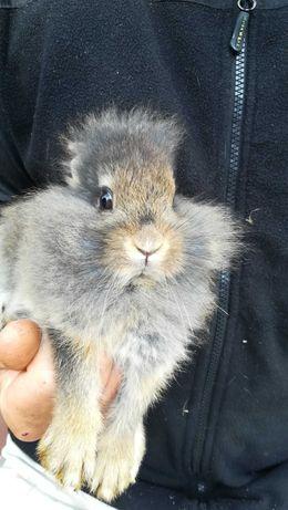 Pan królik miniaturka rasy -lwia głowa-pozłacany