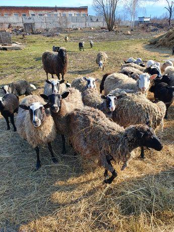 Продам стадо баранів