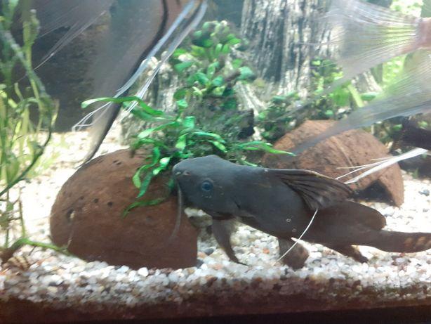 Zamienię ryba akwariowa OPACZEK