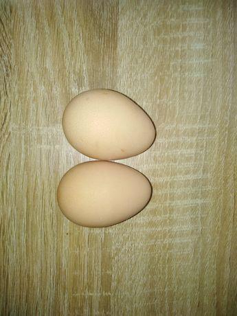Jajka perlicy lęgowe