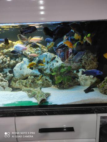 Sprzedam rybki  pyszczaki malawi