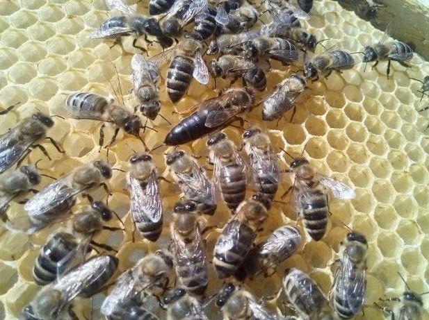Реализую в 2021г. Пчеломатки Вид - Степная Украинская Старейшая порода