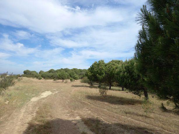 Terreno com pinheiros - Afonso Vicente/Alcoutim