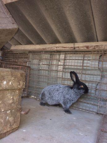 Кролі кроликі. Полтавське срібло.